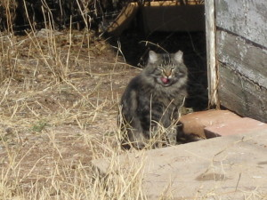 Feral_cat_with_clipped_ear