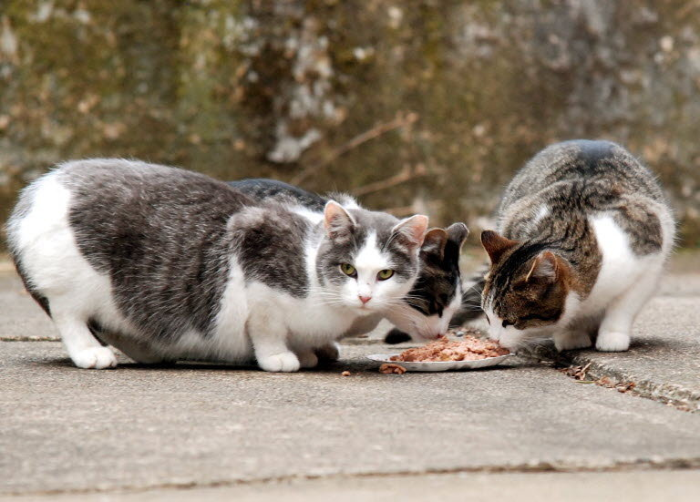 feral cats Feral cats at a glance feral cats, sometimes called free-roaming or alley cats,  are homeless domestic felines who have reverted to a wild state this happens.